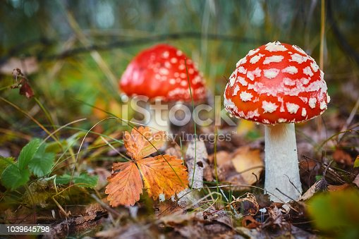Amanita Muscaria, poisonous mushroom. Photo has been taken in the natural forest background.
