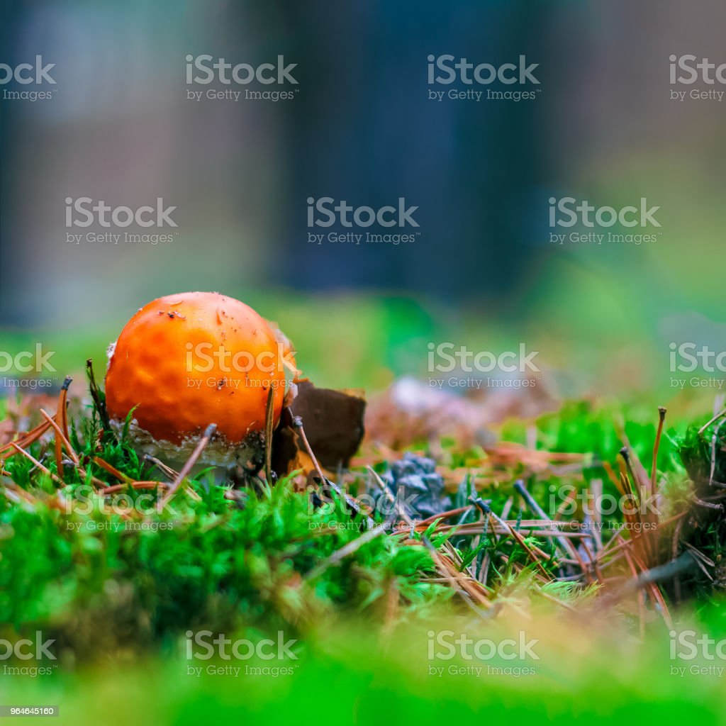 Amanita Muscaria poisonous mushroom royalty-free stock photo
