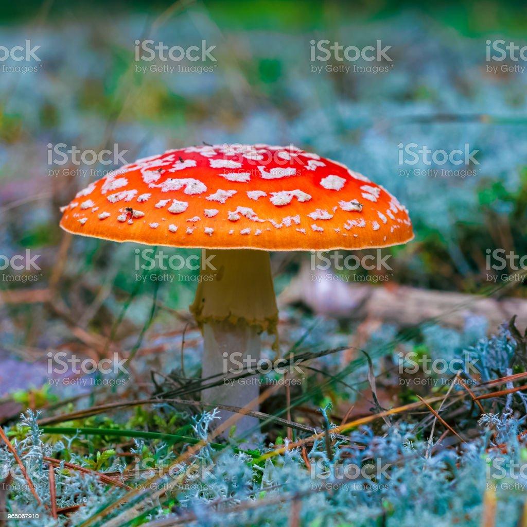 Amanita Muscaria poisonous mushroom royalty-free stock photo