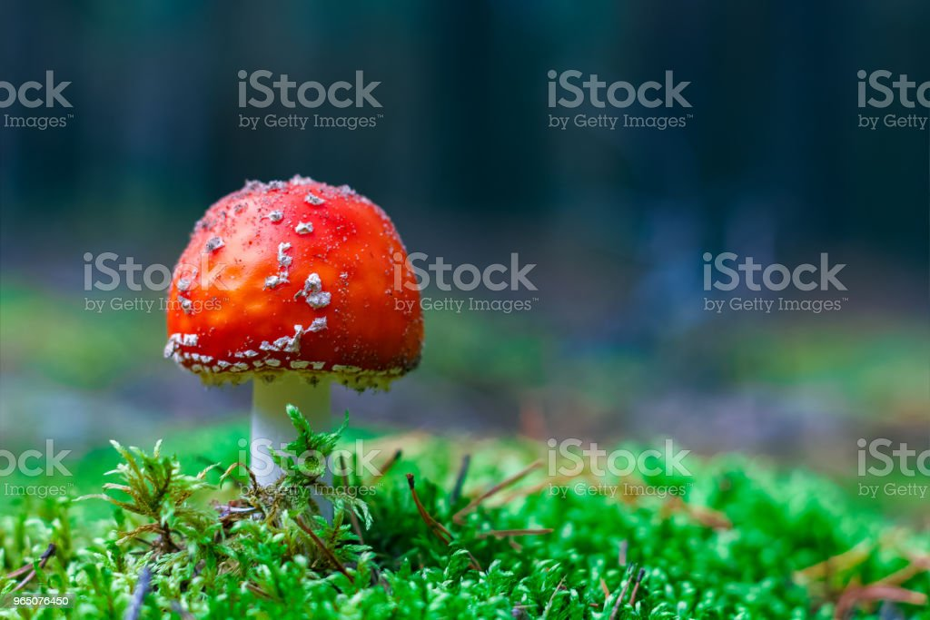 Amanita Muscaria poisonous mushroom zbiór zdjęć royalty-free