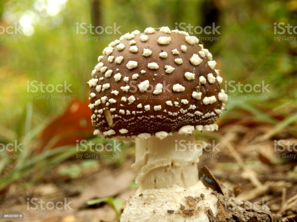 Amanita Pantherina (Panther Cap Mushroom) stock photo