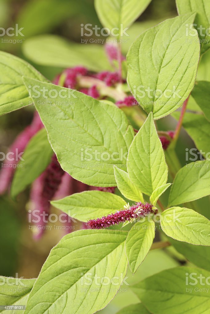 Amaranth, Amaranthus Caudatus. close up stock photo