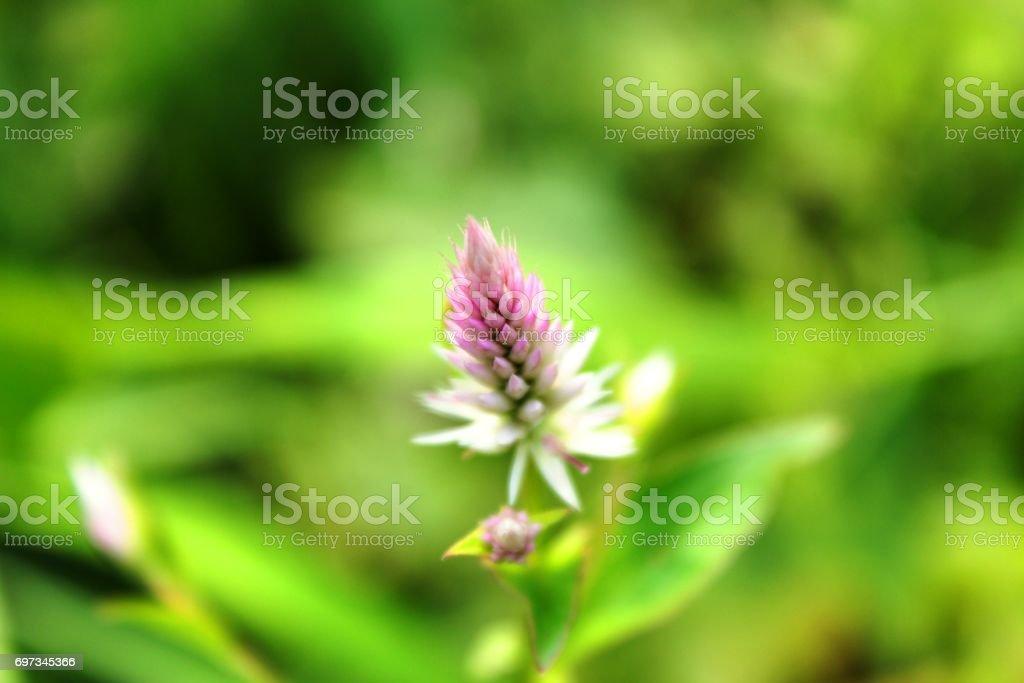 Amaranthaceae stock photo