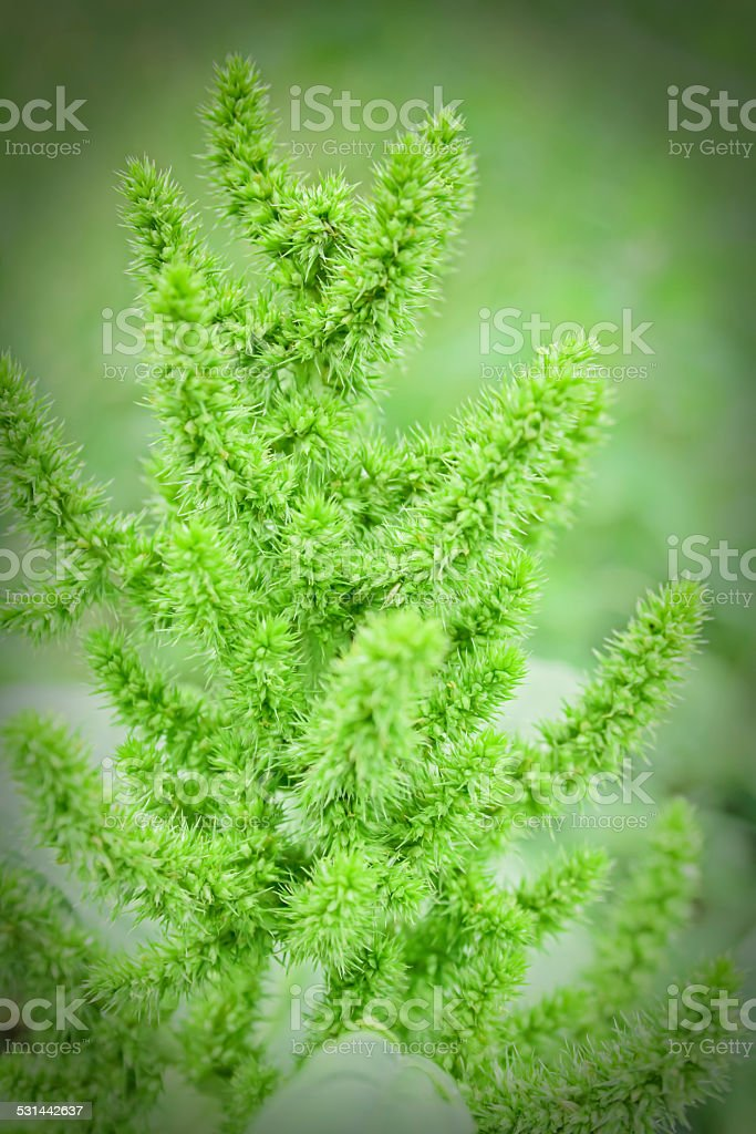 Amaranthus cruentus stock photo