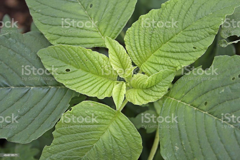 Amaranthus cruentus, Red Amaranth, Grain Amaranth stock photo
