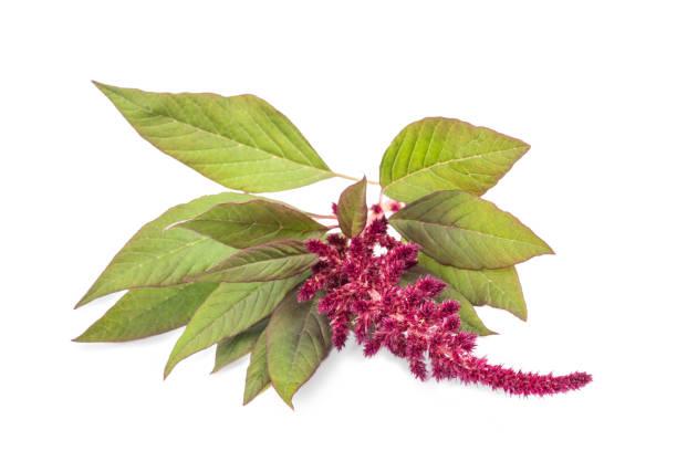amaranthus flower - амарант стоковые фото и изображения