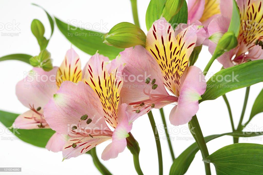 amarilis royalty-free stock photo