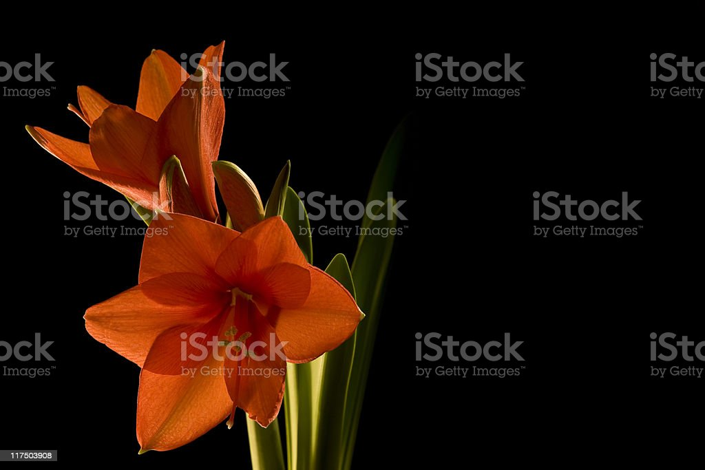 Amarillis Flowers in Black Background. Color Image royalty-free stock photo