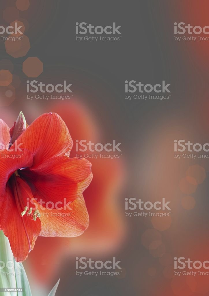 amaryllis background royalty-free stock photo