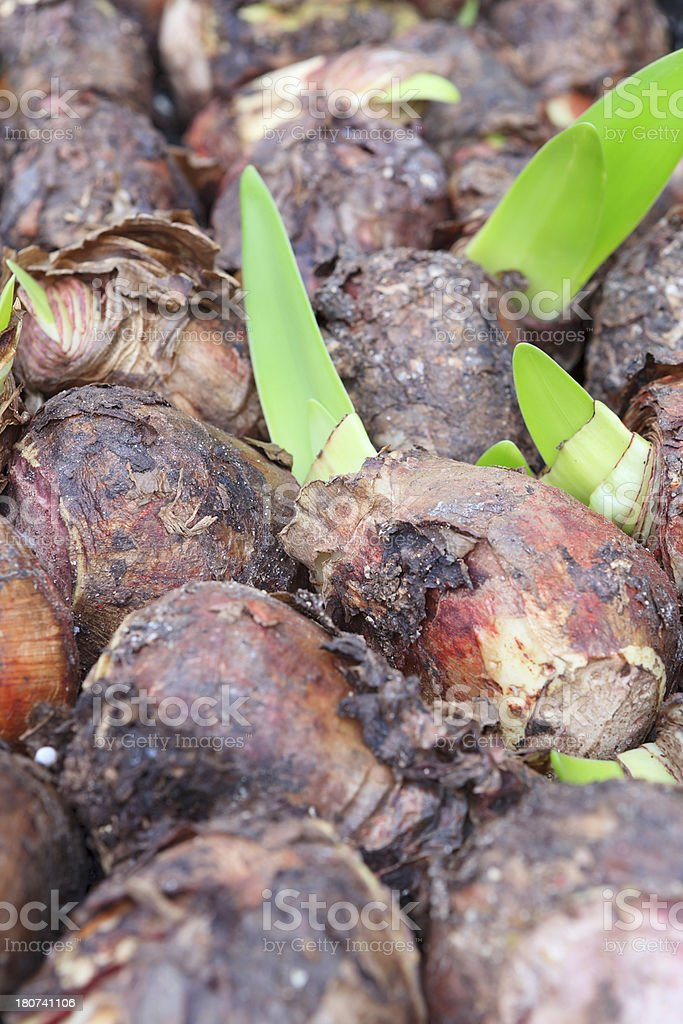 amaryllis bulbs for sale at a flower market royalty-free stock photo