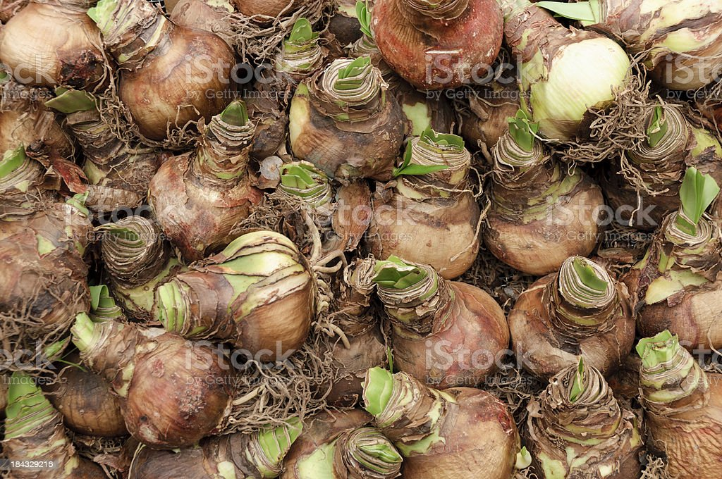Amaryllis Bulbs stock photo