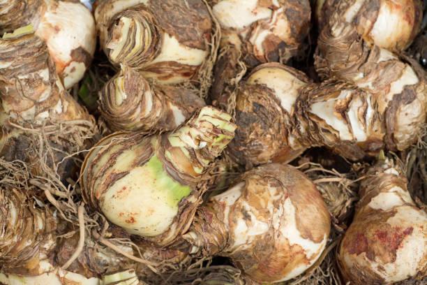 bulbes d'amaryllis - amaryllis photos et images de collection