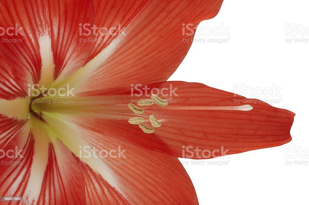 Amaryllis flower royalty-free stock photo