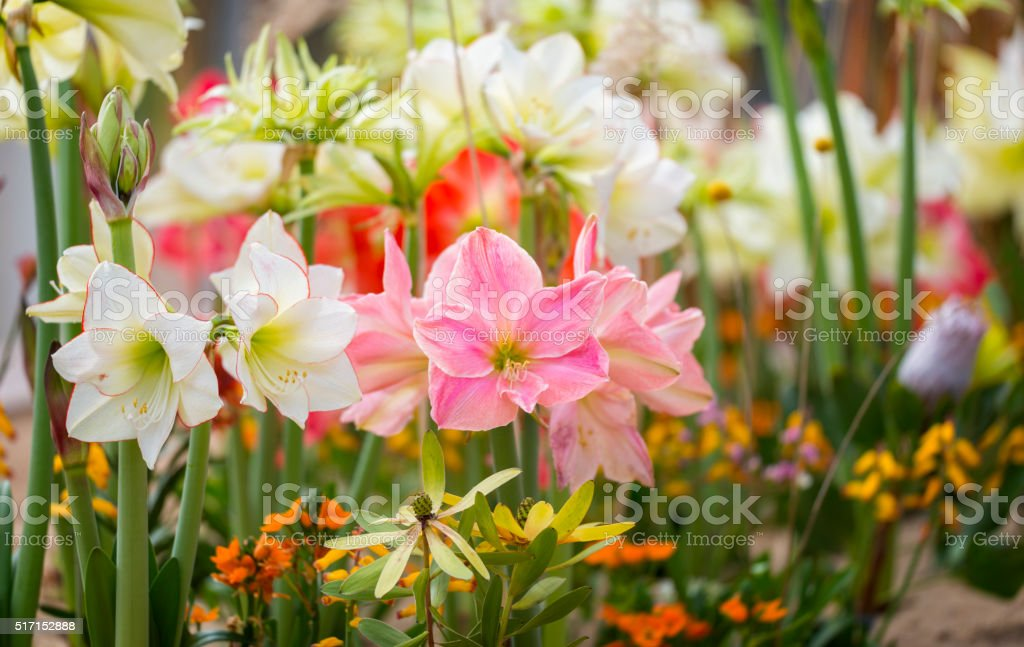 Amaryllis flowerbed stock photo
