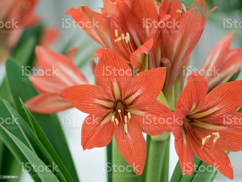 Amaryllis flowers stock photo