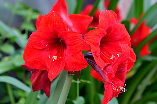 Hippeastrum/amaryllis is a genus in the family Amaryllidaceae with about 70-90 species. It produces tubular-shaped flowers on long and thick stems.