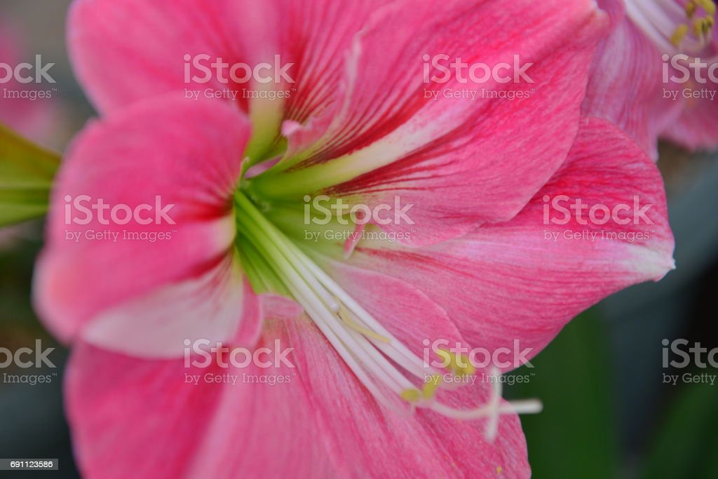 Amaryllis / Hippeastrum stock photo