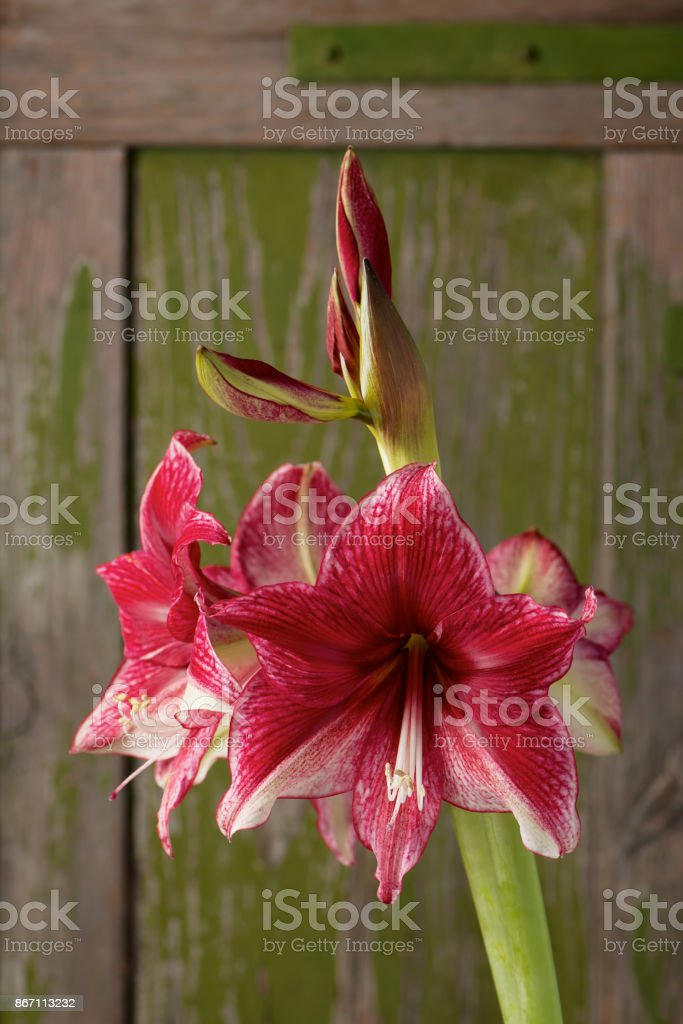 Amaryllis in dark red and white bloom on a rusty green background. stock photo