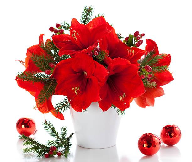 arrangement de noël de amaryllis - amaryllis photos et images de collection