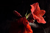 A red amaryllis, in bloom, shines from a dark background.