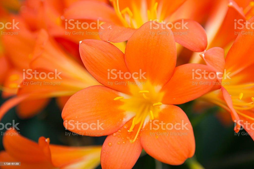 Amaryllis (clivia miniata) stock photo