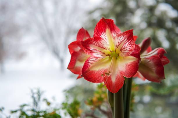 amaryllis - amaryllis photos et images de collection