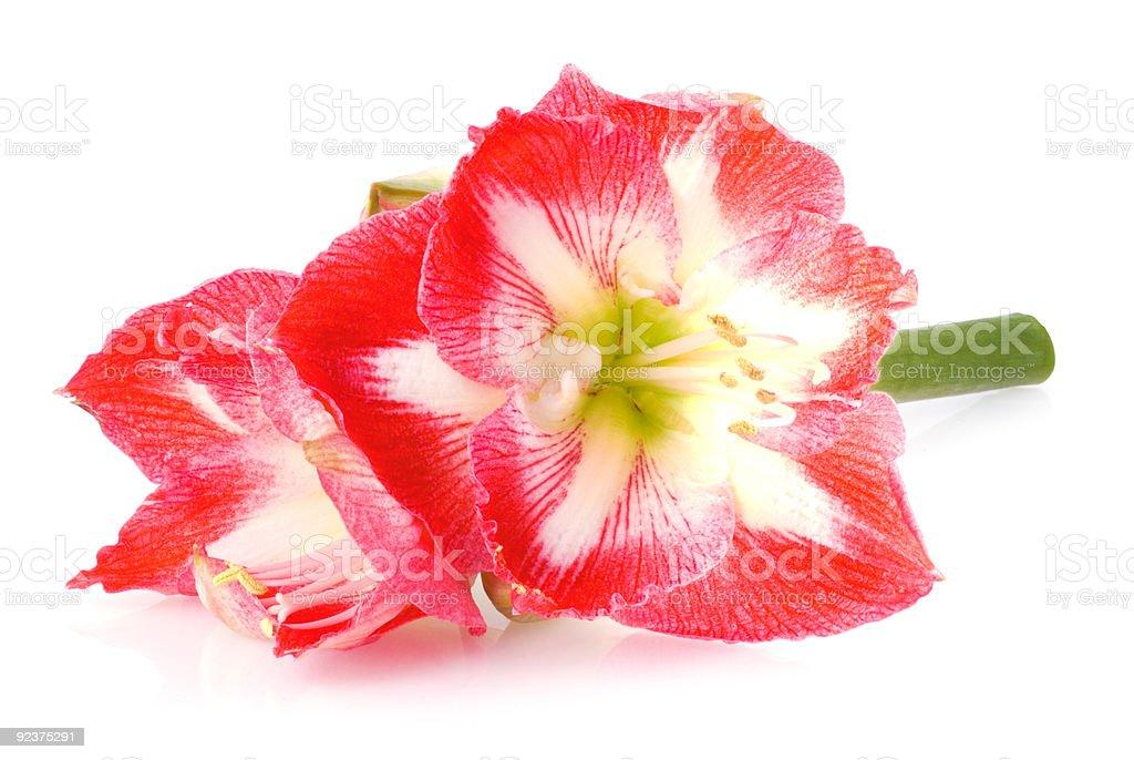 Amaryllis royalty-free stock photo