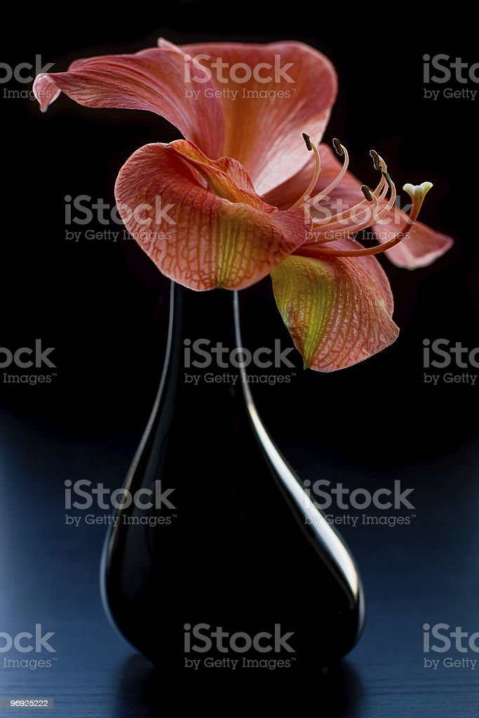 Amaryllis royalty-free stock photo