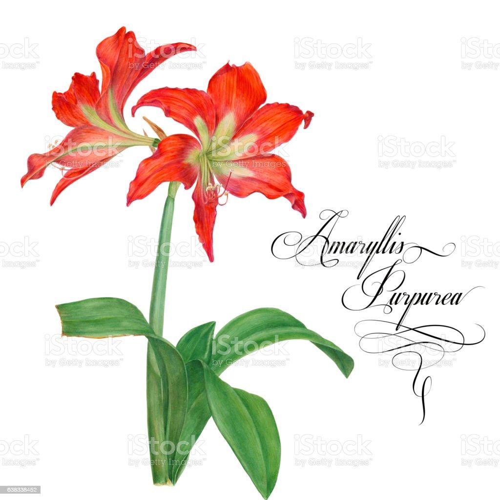 Amaryllis purpurea. stock photo