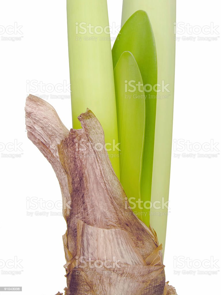 Amaryllis Stems royalty-free stock photo