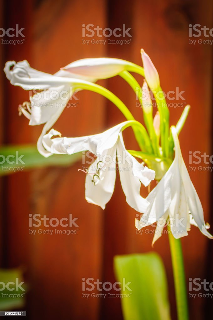 Amaryllis white flower in front of brown wood fence stock photo