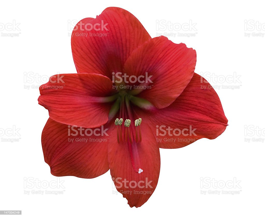 Amaryllis with Clipping Path stock photo