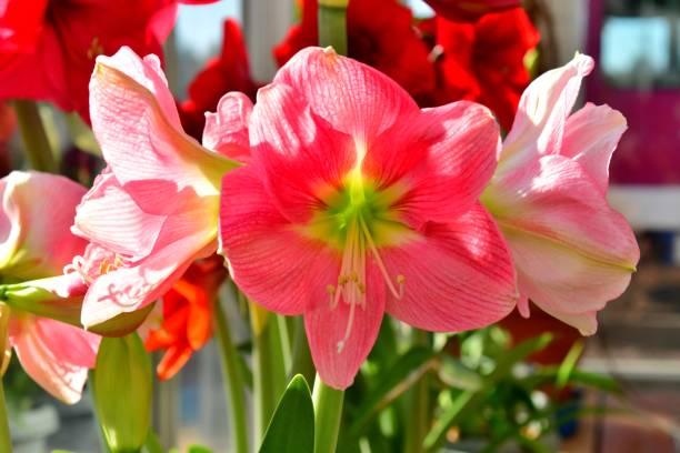 amaryllis/hippeastrum - amaryllis photos et images de collection