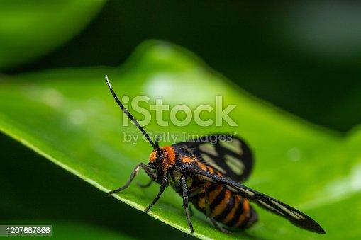 istock Amata humeralis 1207687866