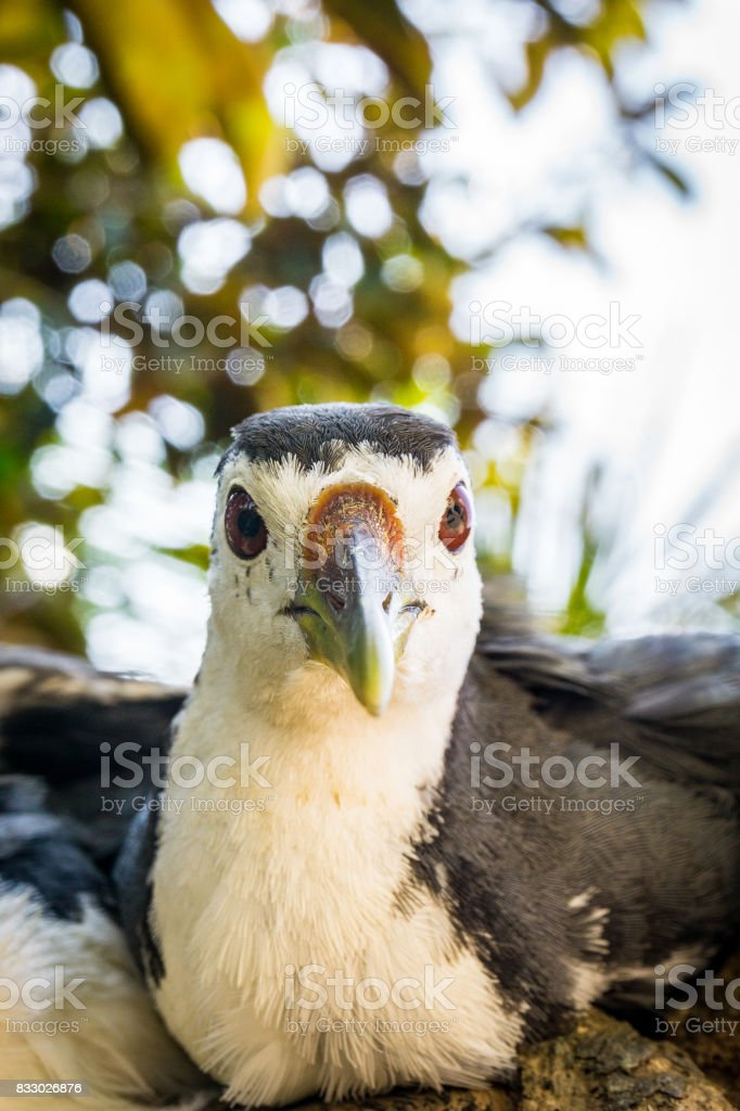 Amaurornis phoenicurus bird stock photo