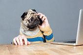 istock Amazed man with pug dog head talking on mobile phone 520652906