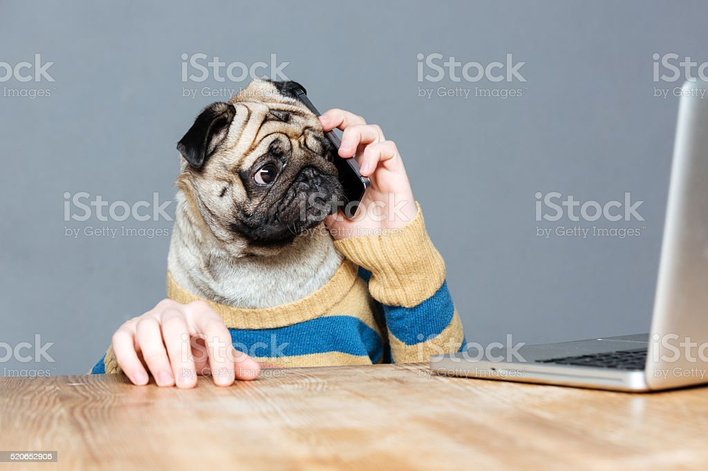 Amazed man with pug dog head talking on mobile phone stock photo