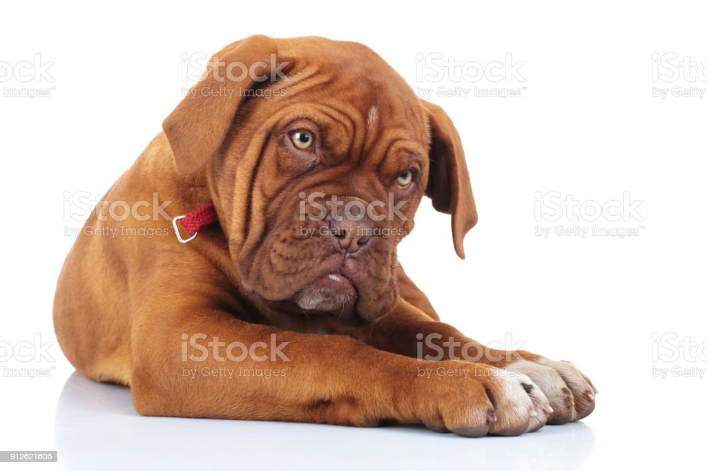 amazed or shocked french mastiff puppy dog stock photo
