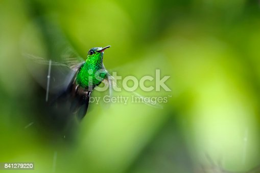 Colibri amazilia tobaci flying stationary on green background with wings spread blurred over green vegetation seen blurred. Some raindrops fall on the background of the image