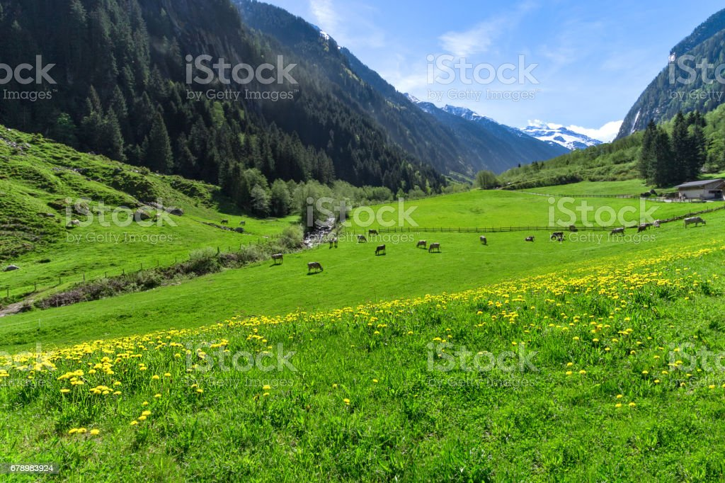 Amazing alpine landscape with bright green meadows and grazing cows. Austria, Tirol, Stillup valley royalty-free stock photo
