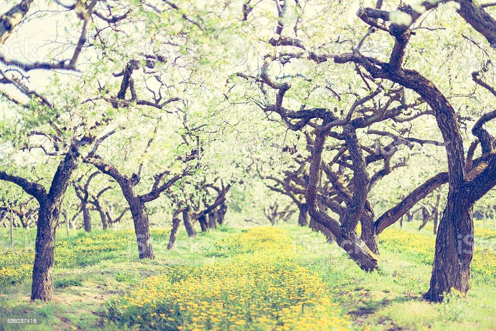 Increíble árboles de manzano en filas en Kiviks sidra fábrica (XXXL) foto de stock libre de derechos