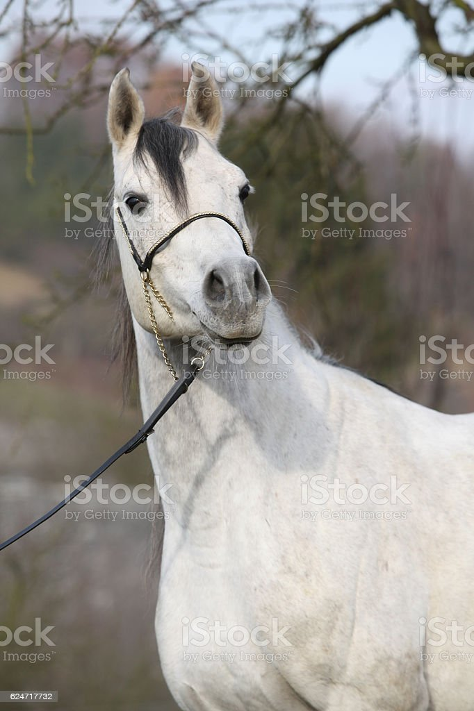 Amazing Arabian Horse With Show Halter Stock Photo Download Image Now Istock