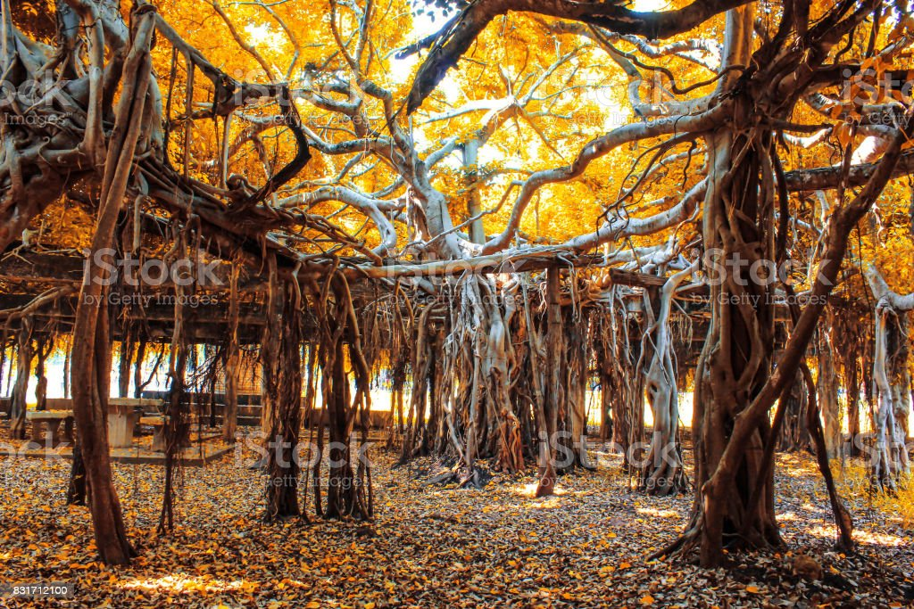 Amazing banyan tree at Sai Ngam Phimai District, Nakhon Ratchasima, Thailand stock photo