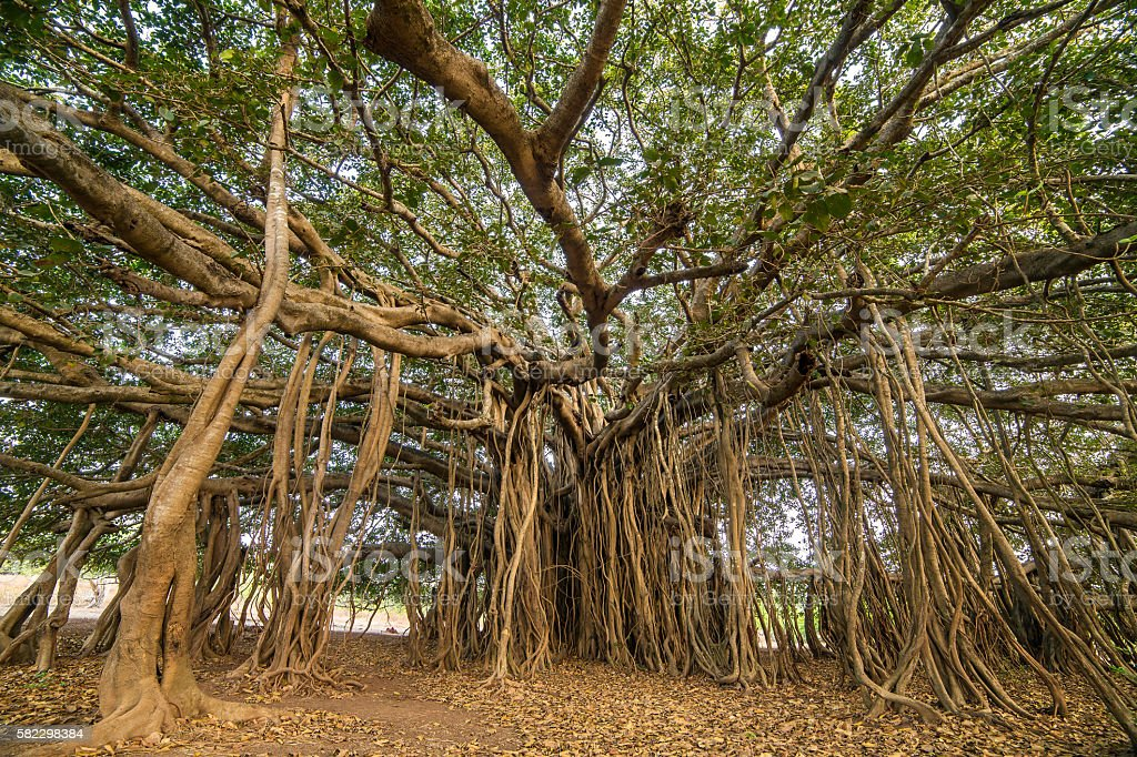 Amazing Banyan Tree in morning sunlight stock photo