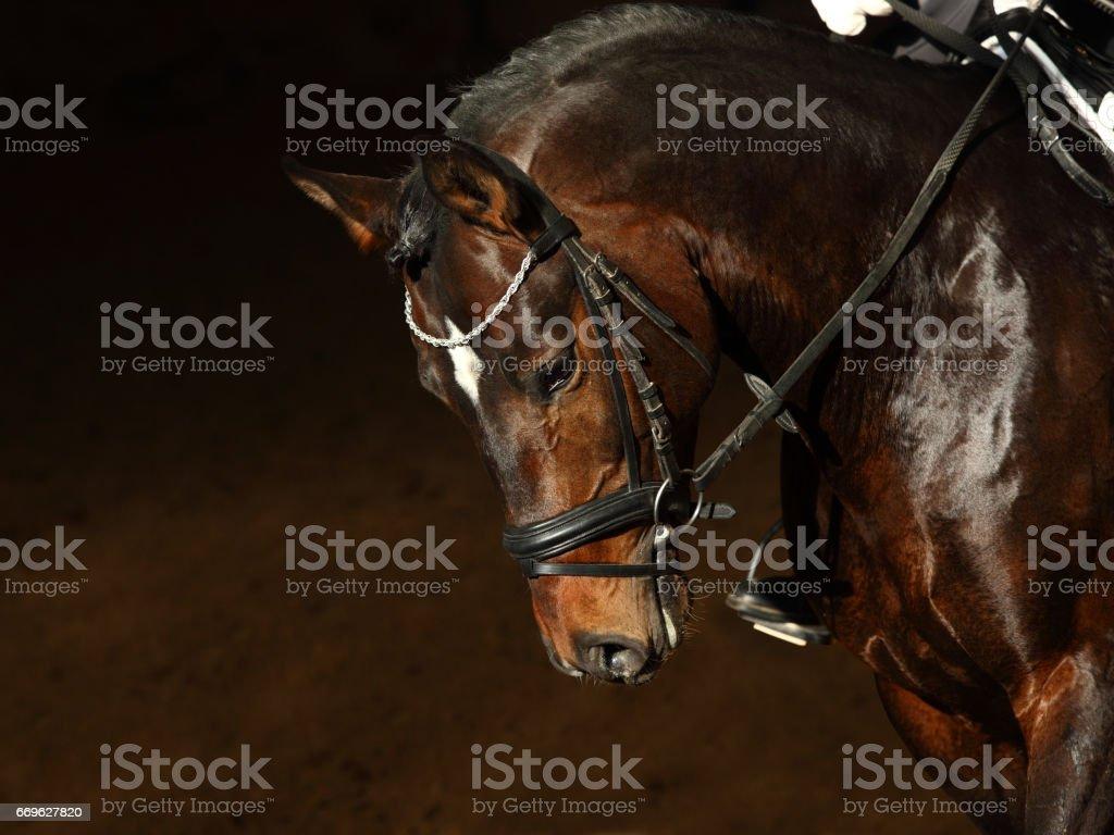 Amazing bay horse on dark background stock photo