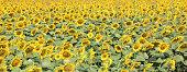 Digital art paint composition, field sunflower, sunny day
