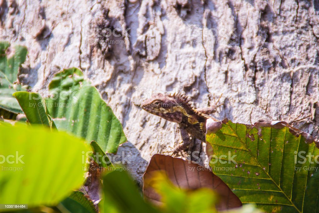 Amazing Bell\'s forest dragon lizard is change its skin color from...