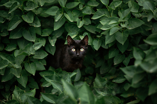 amazing black cat looking among green leaves. beautiful dark cat with green eyes standing in bush leaves and hiding, looking and hunting, peeking. space for text. amazing moment