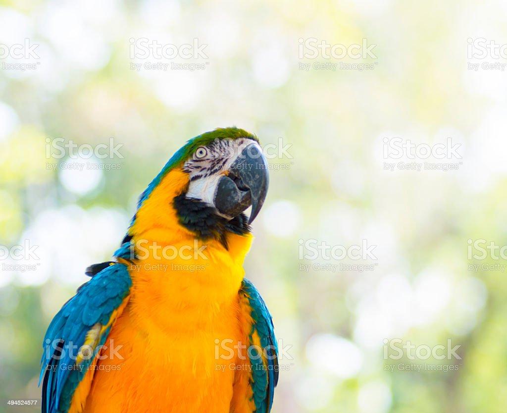 Amazing Blue and Yellow ( Arara ) Macaw stock photo