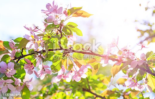 Amazing branch of blossom flowers with pink and red petals on background of blue sky. Easter background with blossom blooming in springtime. Apple tree flowers blooming. Blossoming apple tree flowers with green leaves.